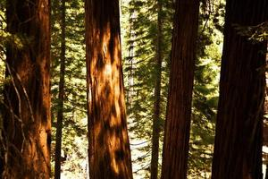 grandes sequoias famosas no parque nacional de sequóia