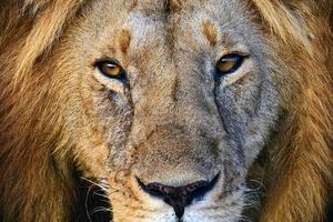 retrato de jovem leão