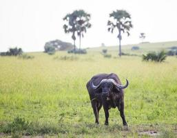 búfalo africano foto