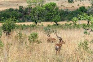 impala (antílope), parque nacional de pilanesberg. África do Sul. 29 de março de 2015