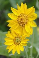 flores do sol no parque nacional de yellowstone foto