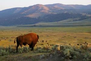búfalo americano no parque nacional de yellowstone