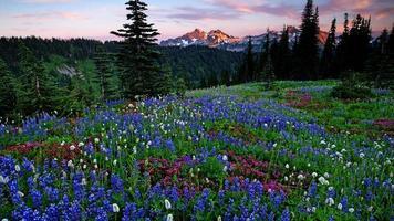 flores silvestres do monte rainier