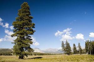 árvore em tioga road, parque nacional de yosemite, sierra nevada, eua