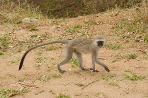 macaco vervet andando