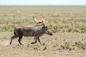 warthog, phacochoerus africanus em serengeti.