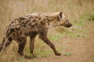 hiena caminhando para a estrada