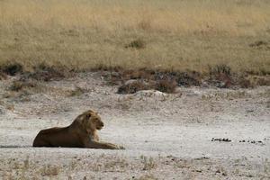 leões no parque nacional de etosha na namíbia foto