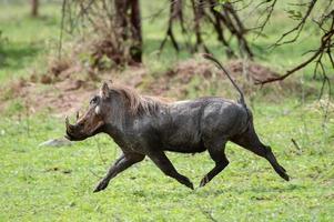 phacochoerus africanus (javali) - parque nacional do serengeti, tanzânia