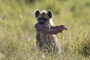 hiena no parque nacional serengeti, tanzânia, áfrica