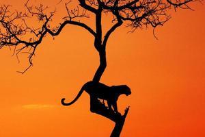foto da silhueta do leopardo