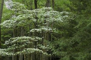 dogwood, spring, cades cove, great smoky mtns np
