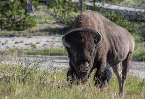 postura de búfalo