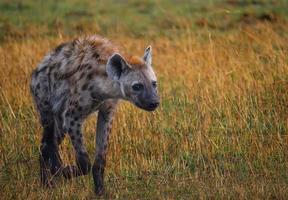 hiena caminhando