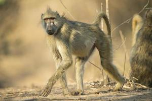 babuíno chacma caminhando