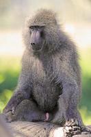babuíno verde-oliva sentado em um tronco