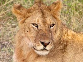 jovem leão macho em serengeti, tanzânia foto