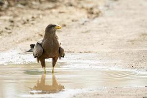 águia fulva no parque nacional Kruger