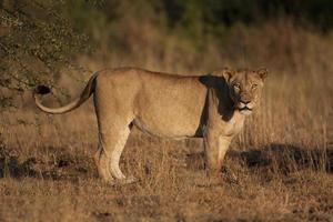 leoa no parque nacional Kruger