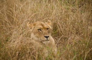 leão escondido na grama