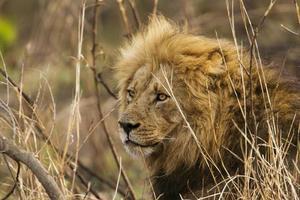 leão no parque nacional Kruger