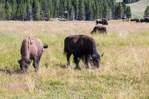 bisontes no parque nacional de yellowstone, wyoming, eua