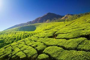 plantações de chá verde