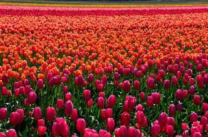 campos de tulipas coloridas foto