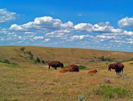 rebanho de búfalos de bisões americanos no parque nacional theodore roosevelt