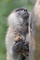retrato de babuíno verde-oliva em uma árvore
