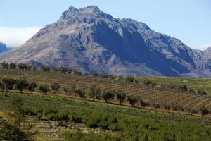 vinhas na cidade de stellenbosch, áfrica do sul