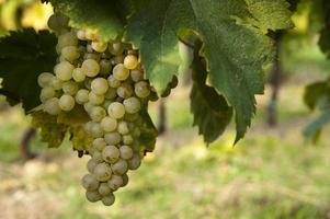 cacho de uvas maduras foto