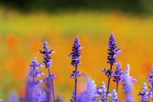 flores azuis de sálvia florescendo no jardim e no campo foto