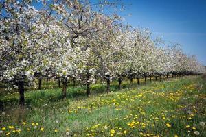 pomar de maçã primavera