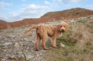 cachorrinho goldendoodle foto