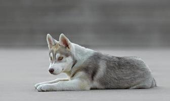 cachorro husky macho foto