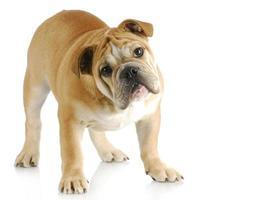 cachorrinho bulldog inglês