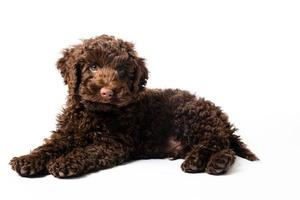 labradoodle mini cachorrinho foto