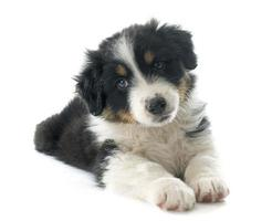 cachorro pastor australiano foto