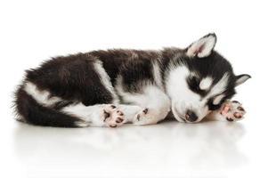 cachorrinho husky dormindo foto
