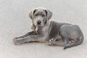 cachorro grande dinamarquês foto