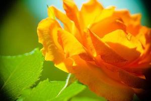 natureza. flor rosa laranja para o fundo foto