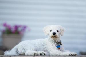 bichon frise puppie foto