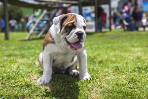 cachorrinho bulldog inglês foto