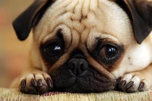 cachorrinho pug triste foto