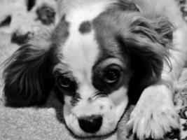 Sally, o cachorro King Charles Cavalier
