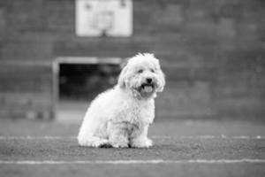 foto de cachorro preto e branco de coton de tulear