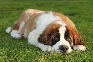 cachorro santo bernard puro foto