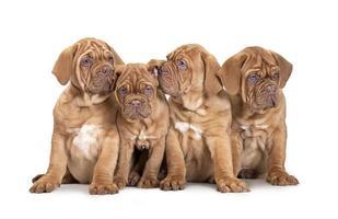 quatro filhotes de mastim francês foto