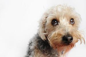 poodle cross sedoso australiano foto